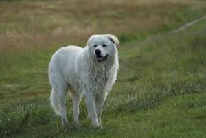 Herdenschutzhunde