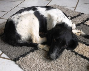 Pflegehund-welpe